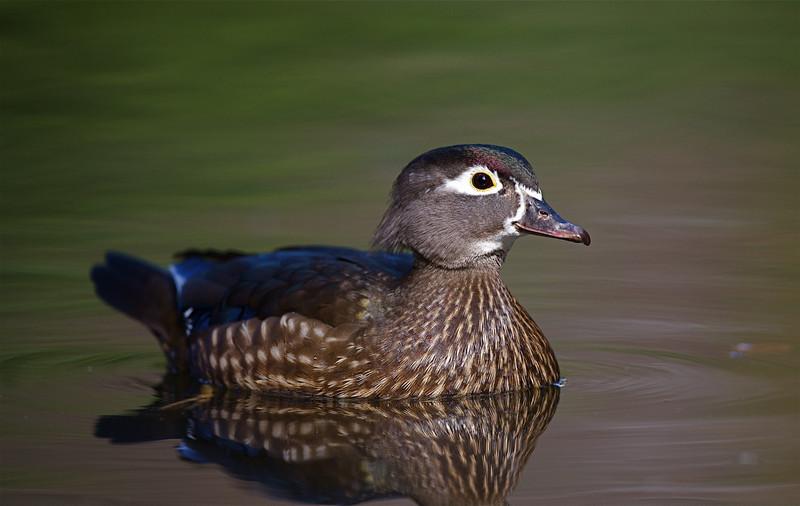 hen Wood Duck photographed in southwestern Oregon