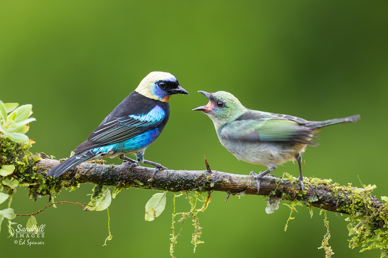 Golden hooded tanager and hungry chick