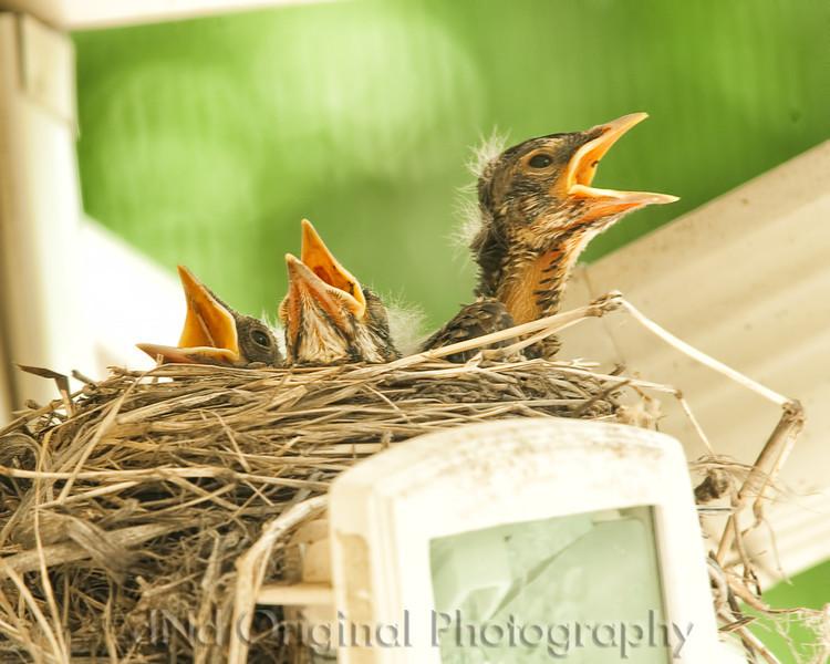 050 Baby Robins Spring 2013.jpg