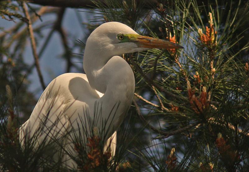 WB~Rookery Egret in tree1280.jpg