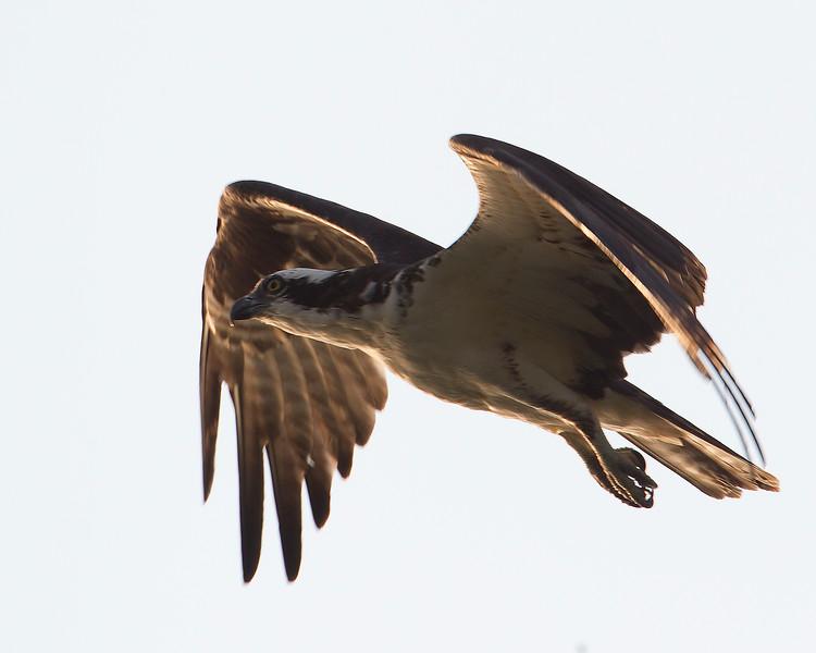 ospreyinflight-2-2012.jpg