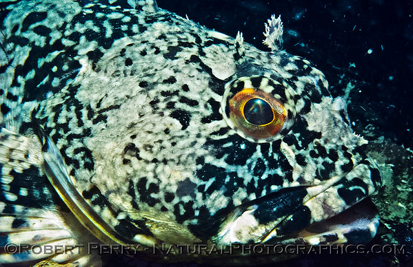 Rockfish, Sculpins and Scorpion Fishes & Lingcod