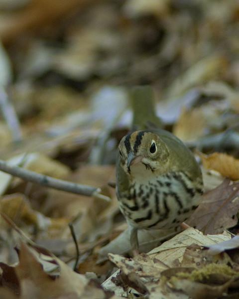 Ovenbird  Monticello Park in Alexandria, VA
