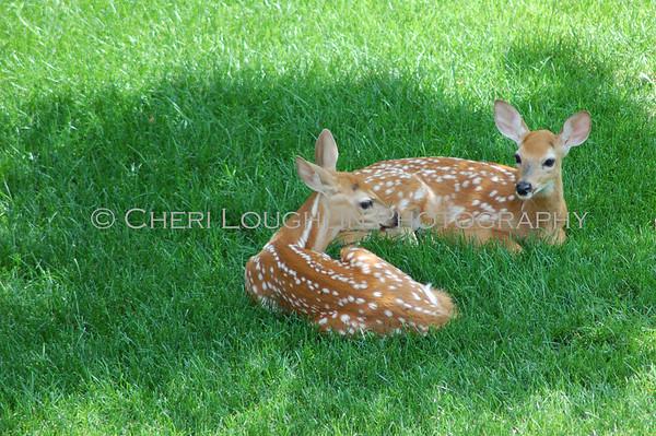 Daily Deer