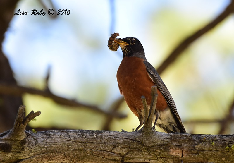 American Robin - 6/4/2016 - Laguna Meadows