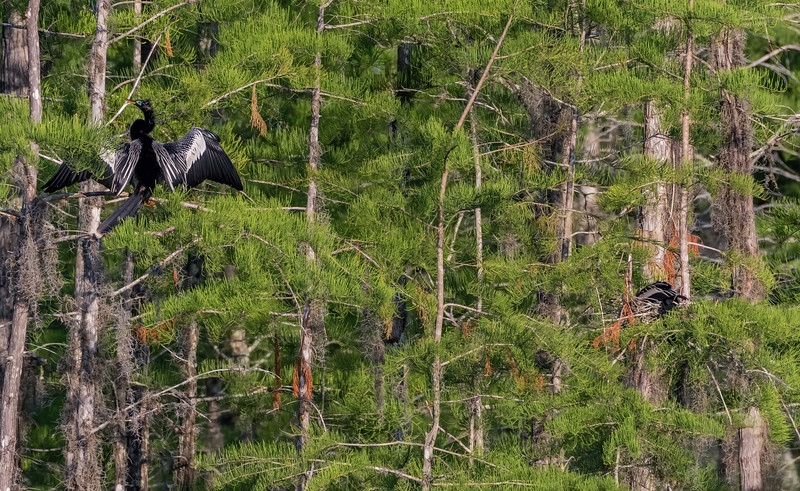 Anhinga pair and their nesting area