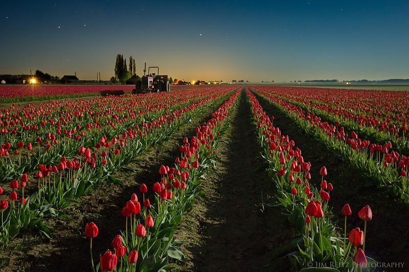 Tulips after Dark