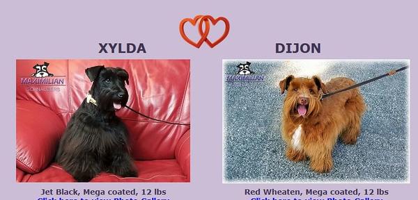 Xylda & Dijon Puppy, DOB 4/16/2020