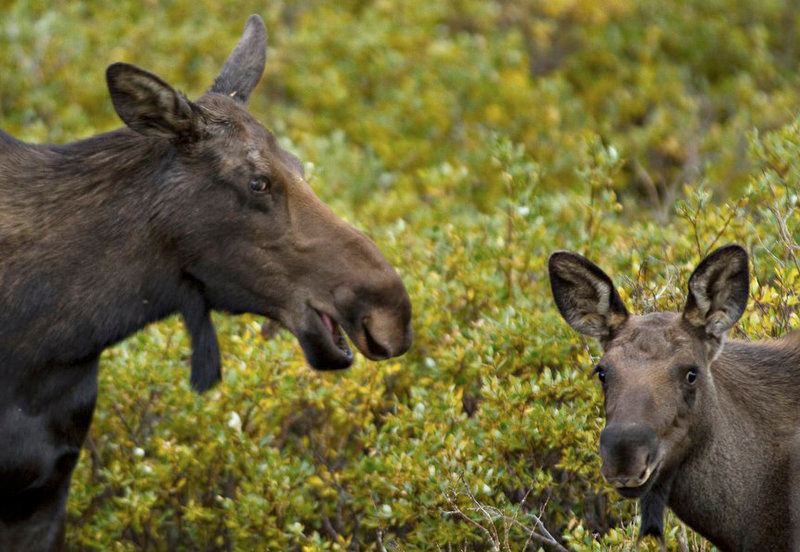 . A cow moose stands near its offpring in a marshy field near Georgetown, Colorado. Cows usually give birth in May and June, according to the Colorado Division of Wildlife.  (Werner R. Slocum/The Denver Post)