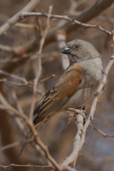 Northern Gray-headed Sparrow