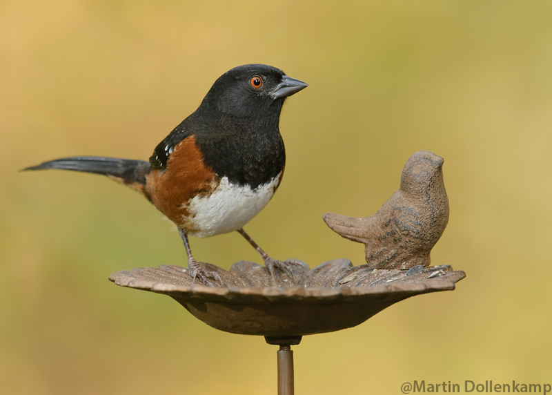 Spotted Towhee, trying out a new bird feeder.