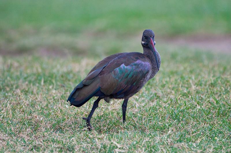 Hadada Ibis; September 4, 2012; Lake Naivasha, Kenya