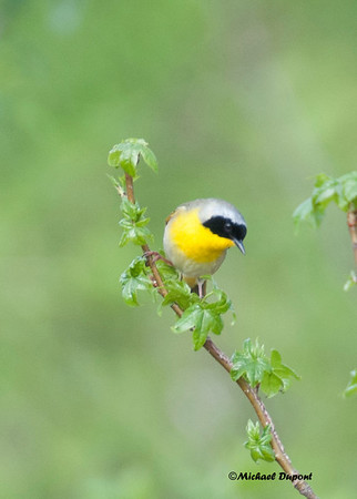 Yellow Throats
