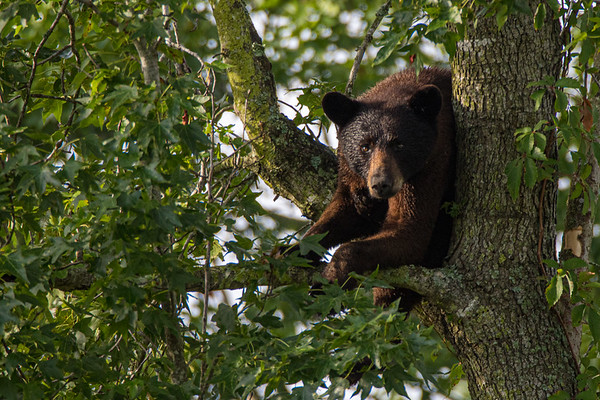 Black Bear of NC