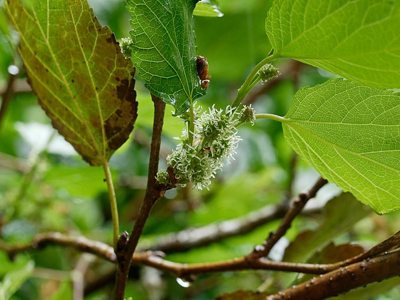 start of blackberries