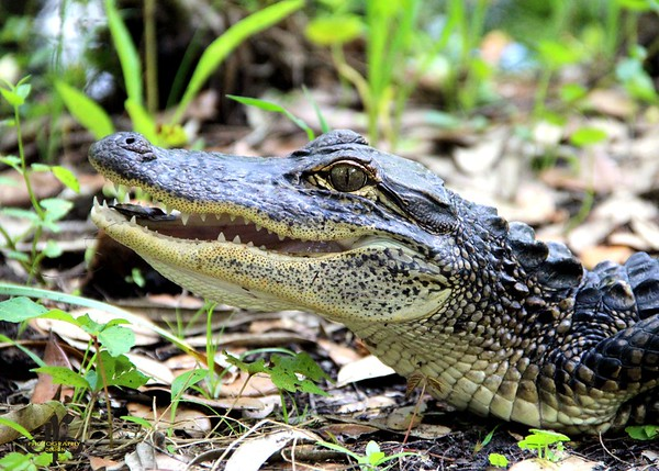 Alligators in All Poses and Sizes