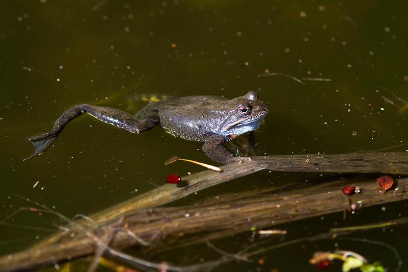 Vanlig groda – Rana temporaria – Common Frog