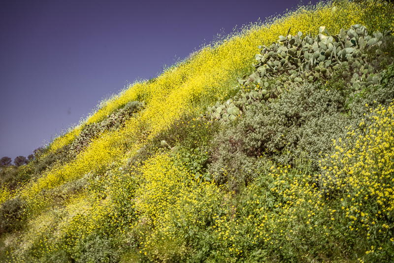 March 12 - LA is back! The superblooms begin to emerge after a harsh, cold and wet winter.jpg