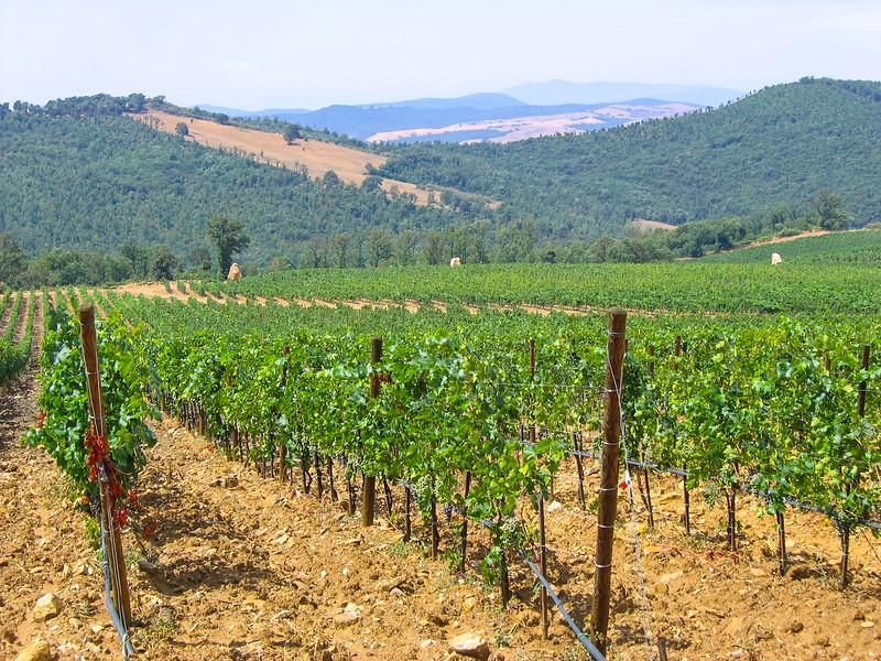 Vinyard in Tuscany, Italy