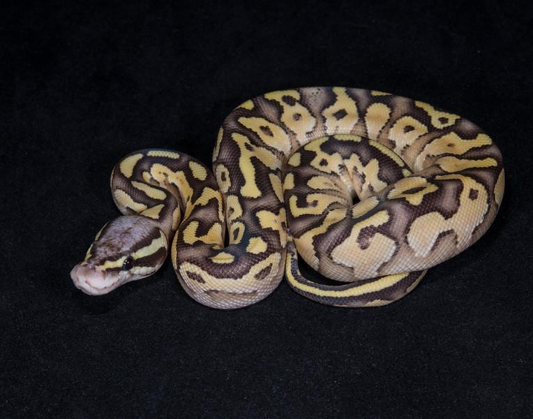032FBP,  female Butter Pastel, $175