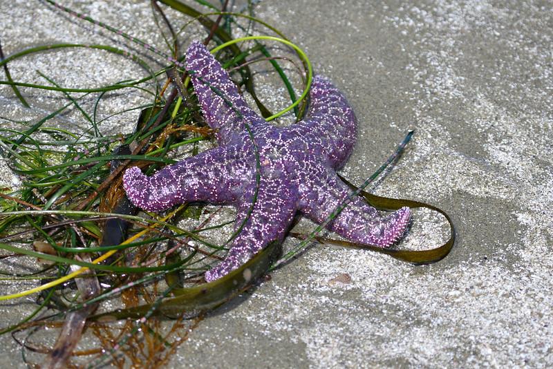 20070630_11439_Tofino_PurpleStarFish.jpg