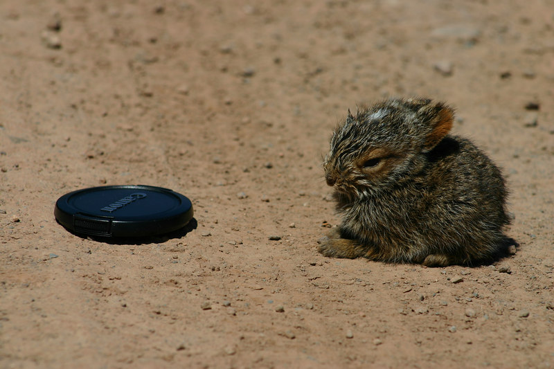 Snowshoe Hare baby