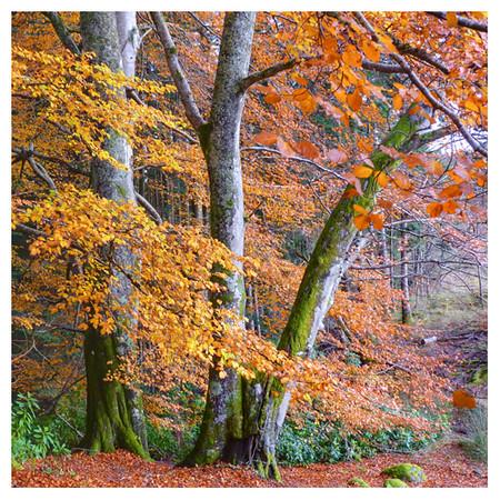 Autumnal trees.jpg