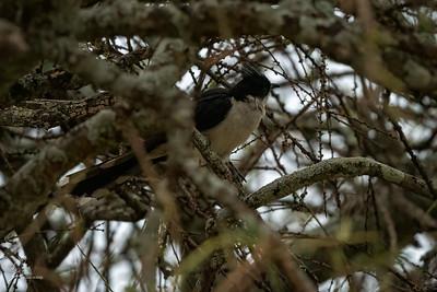 Cuckoo, Jacobin