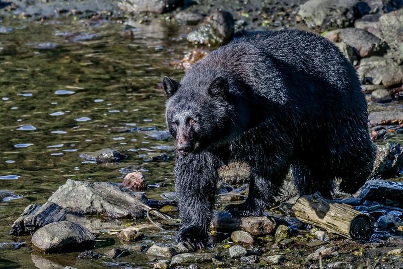 DSC 9530 black bear.jpg