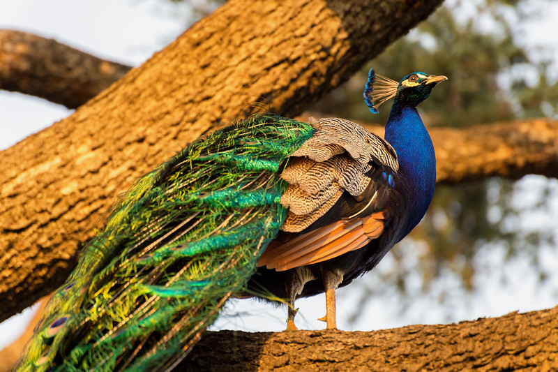 peacock13May2016-24-Edit-Edit.jpg