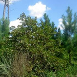 oaks-may-replace-pines-in-severely-burned-lost-pines-region-without-human-intervention