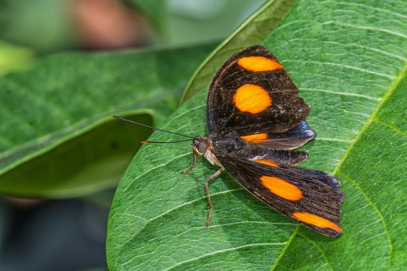 Butterfly Wonderland 4_Grecian Shoemaker.jpg