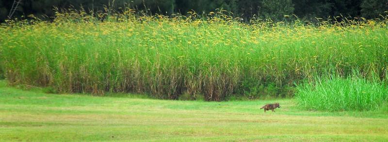 Florida Coyote