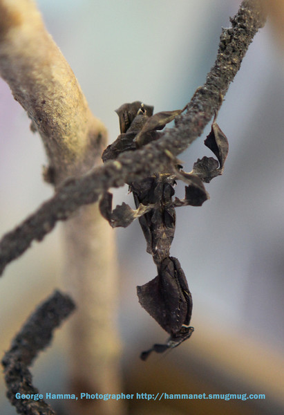 This praying mantis disguises its shape with leaf-like decorations.