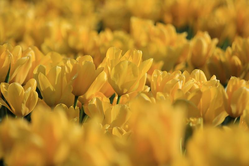 Tulips 08  27.JPG