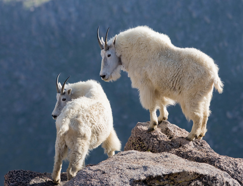 Mountain goats on cliff, Mt Evans Wilderness