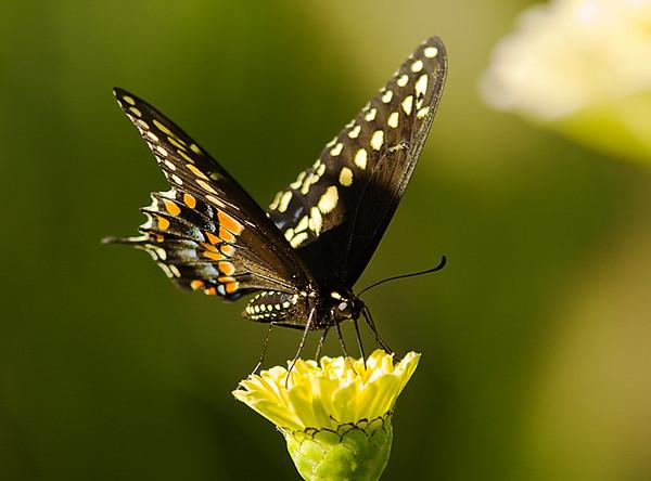 Black_Swallowtail_QBG_Aug1005.jpg
