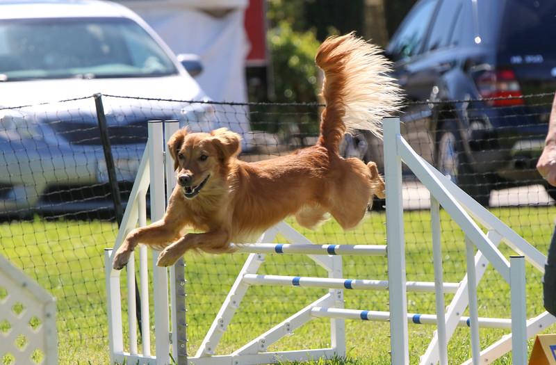 3-31-2018 Shetlant Sheepdog-4524.jpg
