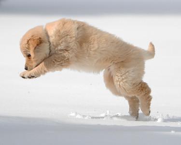 Sam (puppy)