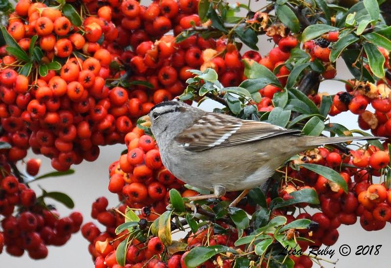 White-crowned Sparrow - 01/17/2019 - Backyard Sabre Springs