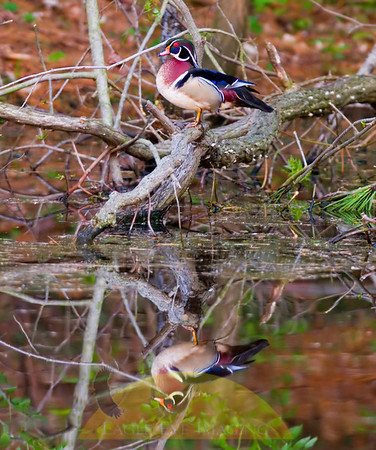 Wood ducks on pond
