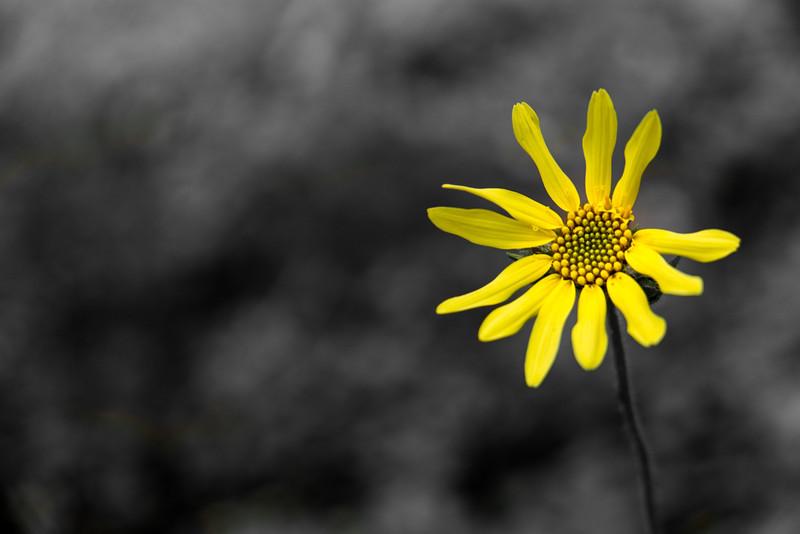Showy Goldeneye