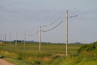 swallow flocks mixed