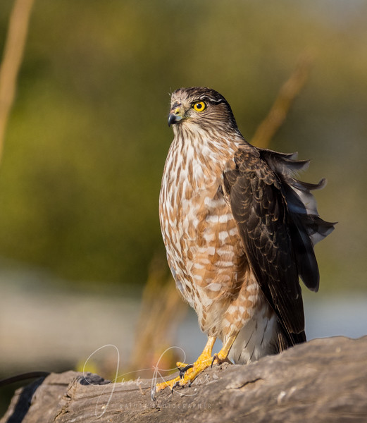 Cooper's Hawk on a windy day in February
