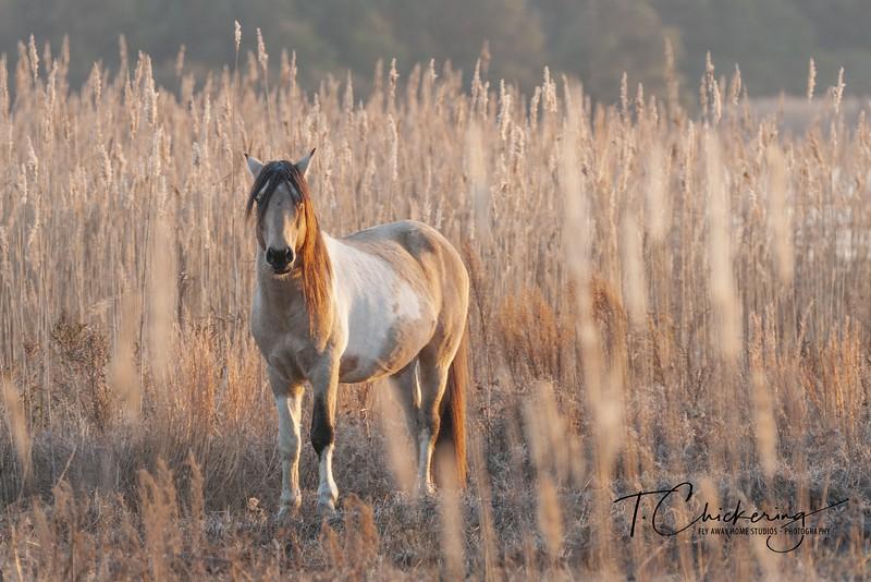 Chincoteague Pony Stallion Legacy - Copy.jpg