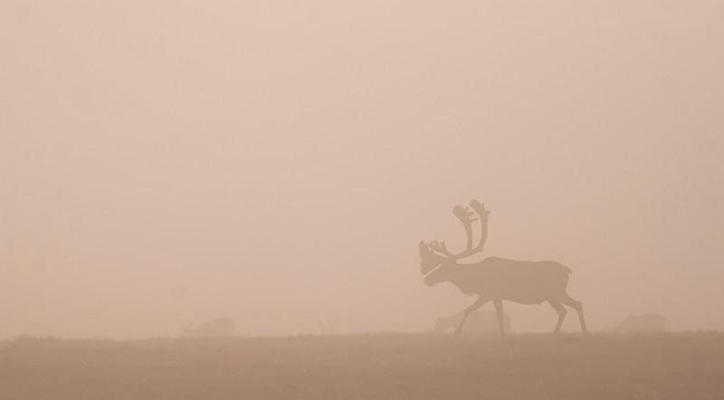 Bull Caribou in Fog- Malkolm Boothroyd (2).jpg