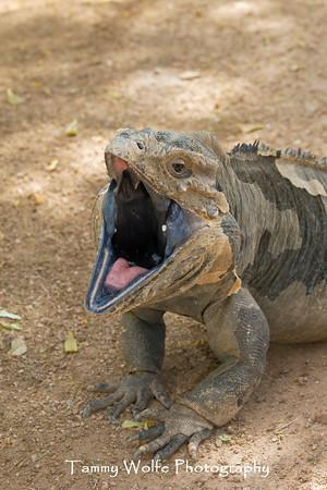 Iguana, Rhinoceros