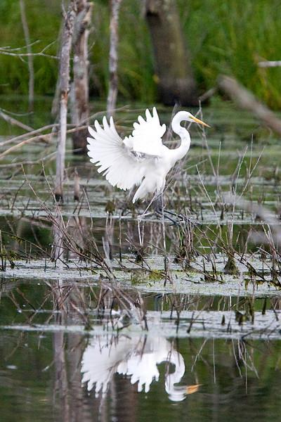egrets-28-20.jpg