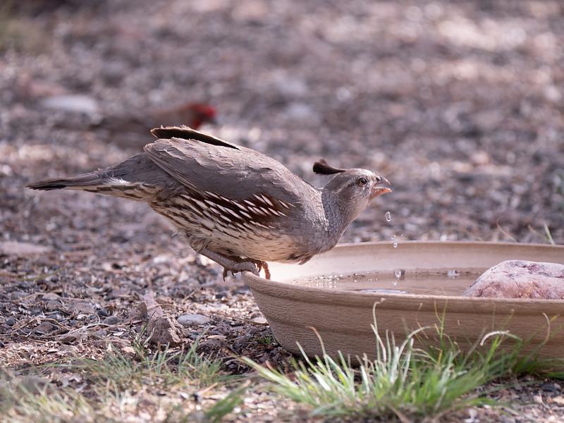 Gambel's Quail female Dave Jasper's feeders Chiricahua Mountains near Portal southeast Arizona June 6-12 2019-1055497.jpg