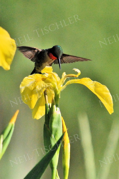 #1004  A mature male ruby throated hummingbird on wild yellow iris